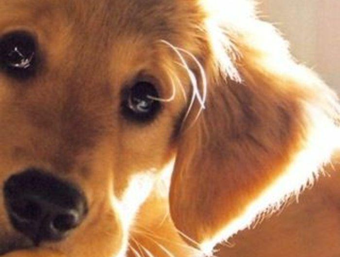 2-race-de-chien-taille-moyen-golden-retriver-pour-vivre-ensemble-avec-vous-quels-chiens
