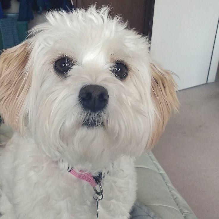 I miss Becca - link in bio! . . . #spring #may #sunny #sunshine #sisters #puppy #puppylove #dog #cavachon #cavalierkingcharlesspaniel #bichonfrise #bichon #caturday #update #family #love #happy #woodbury #minnesotan #minnesota #mn #furry #video #pink #imissyou