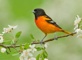 Baltimore Oriole - saw one today (5-22-12) in our mimosa tree, then it flew to hummingbird feeder.  First sighting in several years!
