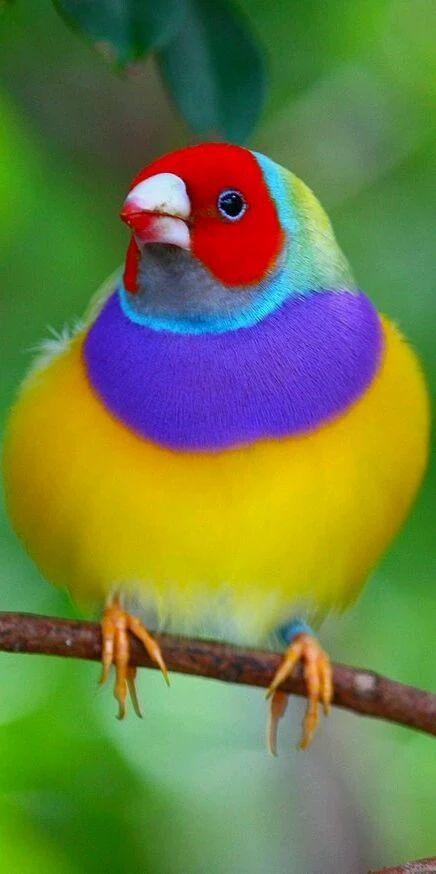 Фото: красивый Гульдова Амадина очень #beautiful и удивительные фото птицы в природе   #beautiful #nature #bird #love #amazing #parrot #photograghy