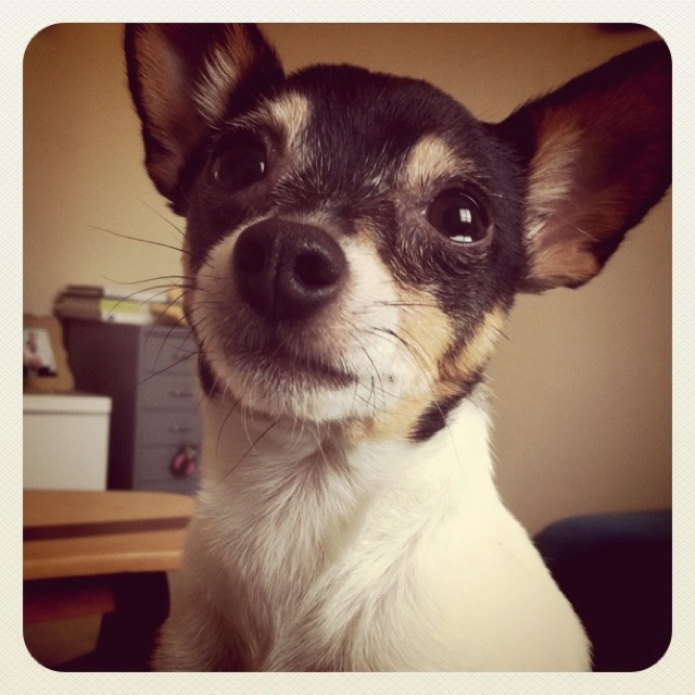 My sweet boy Diggy Lou the Toy Fox Terrier.