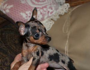 Miniature Pinscher (Min-Pin) puppies for sale.