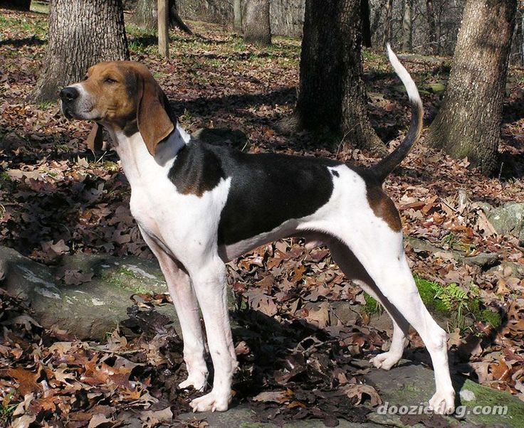 Image detail for -American-Foxhound.jpg