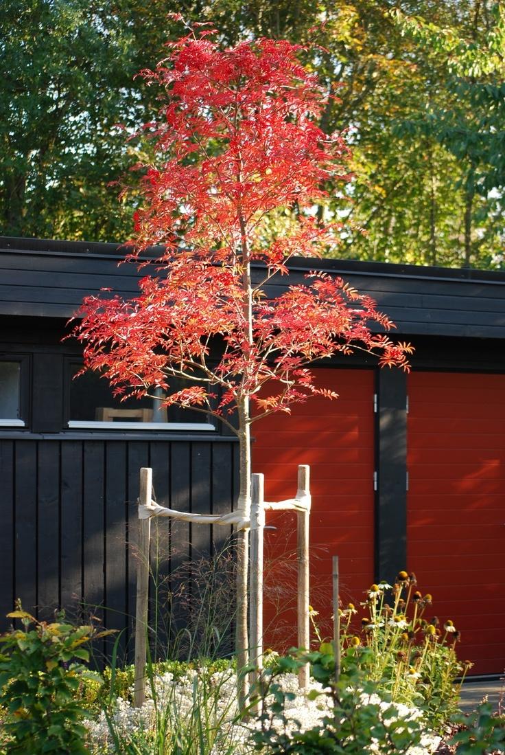 Ullungrönn till hörnet på trädgården.