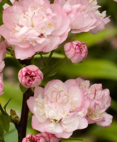 Prunus glandulosaMandelkirsebærRosaceae Rosefamilien  SNITT/LIGNOSE