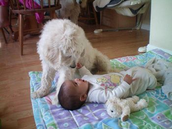 Best 25 Goldendoodle Adoption Ideas On Pinterest Puppy Goldendoodle