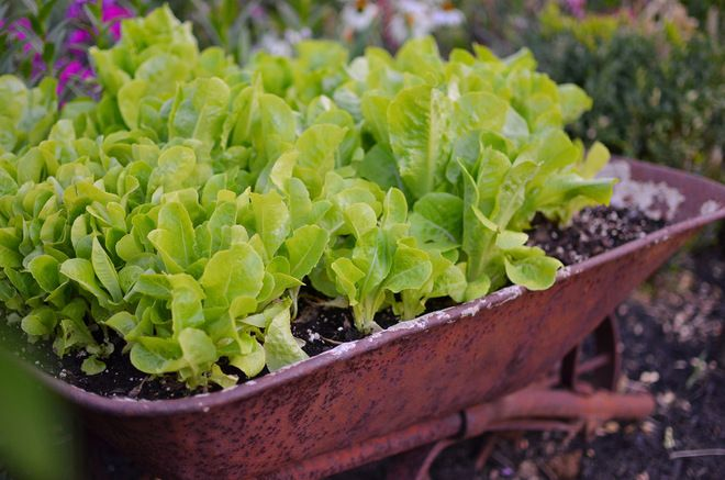 Lettuces and salad greens have shallow roots and grow quickly.  Many kinds of containers, like this old wagon, are very suitable.