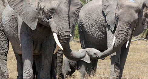 Elephant Alert! from TIME for Kids: A special feature on how elephants are in danger and how you can help. The site offers information on elephants, a written contest, teaching guide and lessons for elementary students, a student worksheet, and a 20 minute elephants video.