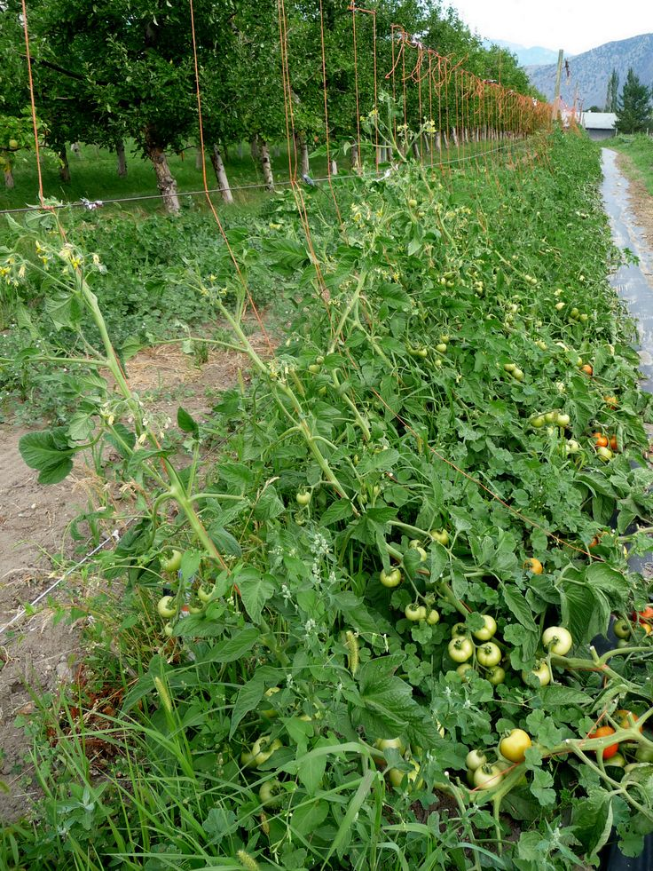 Trellising tomatoes commercially - different methods