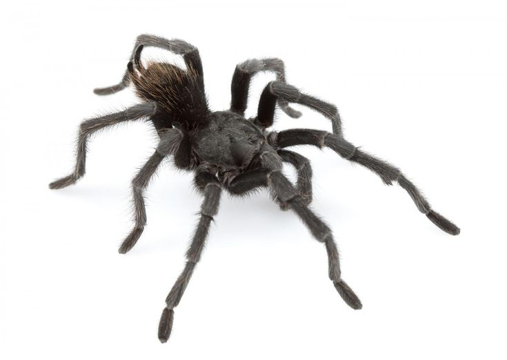 The tarantula, named after the famous singer-songwriter Johnny Cash, is only one of fourteen spider species recently discovered in the southwestern United States. This new discovery nearly doubles the number of tarantula species known from the region. Biologists at Auburn University and Millsaps College have described this novel diversity in the open-access journal ZooKeys.