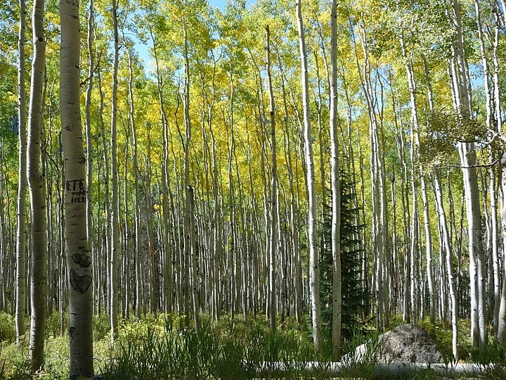 Vail CO: Trees Colors, Stunning Trees