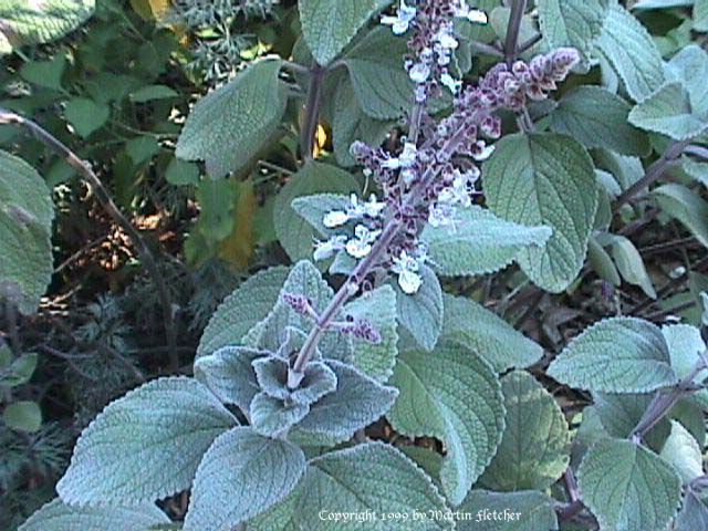 Plectranthus argentatus, ? bought from whistle pipe, small flowers ? 1m h x 2 wide (probably not as big), for foliage