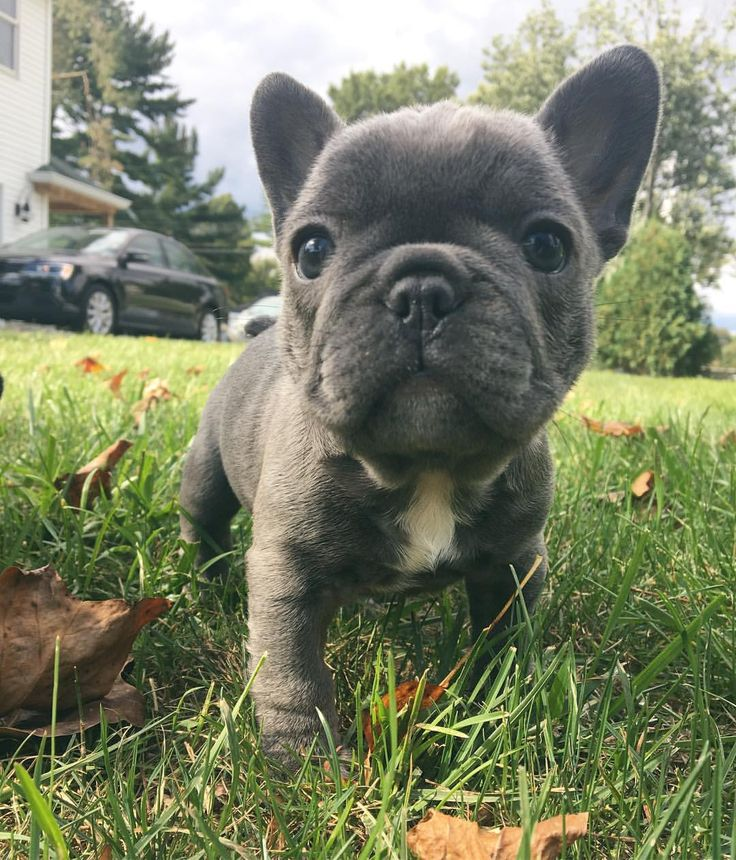 Baby Stewie, the French Bulldog Puppy