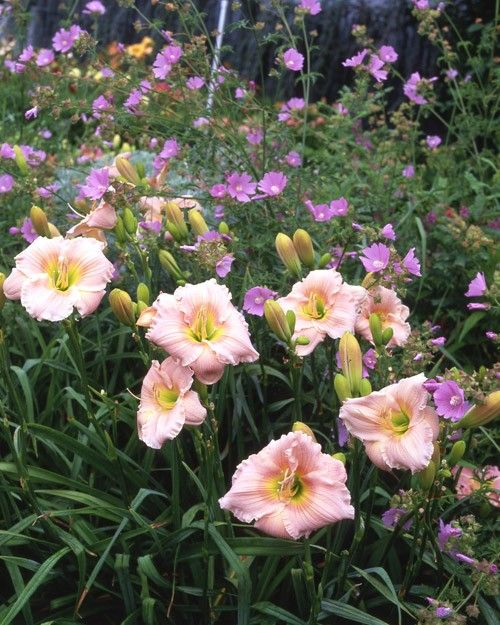 Malva alcea 'Fastigiata' echoes the vein color of the pale-pink, richly ruffled Hemerocallis 'Barbara Mitchell.'