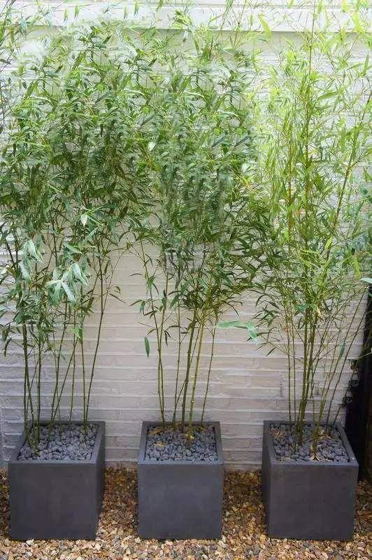 clumping bamboo plant container patio decor ideas bamboo landscaping balcony decor