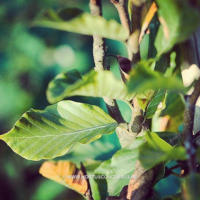 Fagus orientalis 'Iskander' #gardening #tuinieren #jardinage #gartenarbeit #fagus #tree #boom #arbre #baum #hortusconclusus #treenursery #boomkwekerij #pépinière #baumschule #uitbergen #overmere #donkmeer #berlare #zele #wichelen #schellebelle #lokeren #schoonaarde #dendermonde #laarne #beervelde #kalken #wetteren