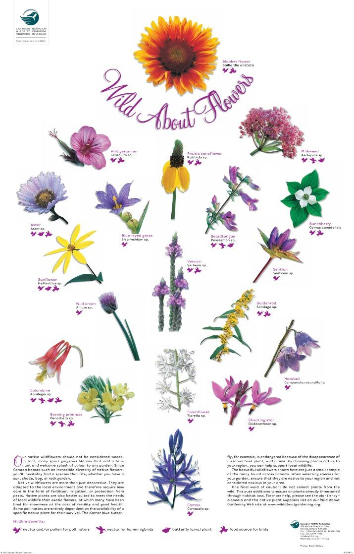 Canadian Wildlife Federation: Wild About Flowers This poster is a visual display of the beauty of Canadian wildflowers. It features 19 of our native species – just a small sample of the many attractive flowers found across Canada.