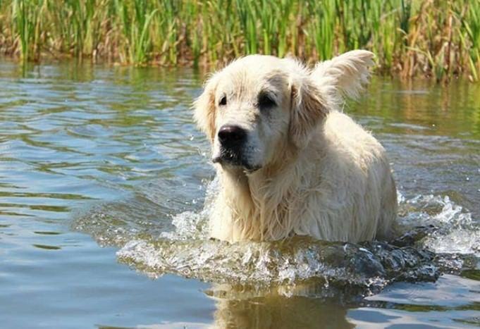 290 Golden Retriever Male Dog Names Dog Names Golden Retriever