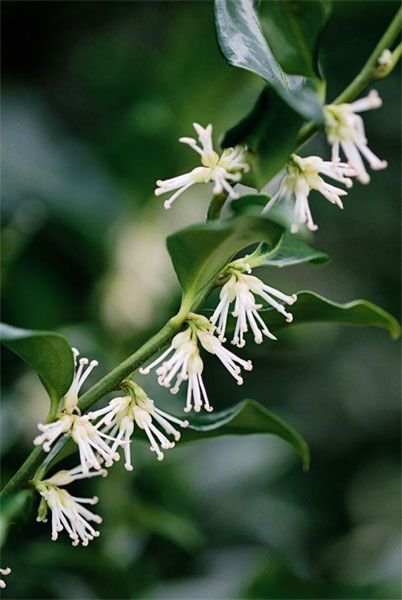 Sarcococca confusa: winter box, fragrant flowers from December to March, glossy dark evergreen foliage