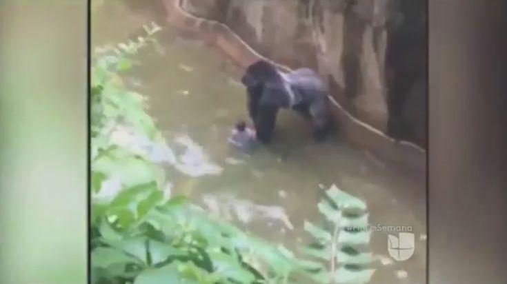 Matan A Gorila De Un Zoológico Para Rescatar A Niño Que Cayó Por Accidente En La Piscina Del Animal. Indignados Se Encuentran Defensores De Animales