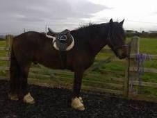 16hh cob for sale | Horsemart