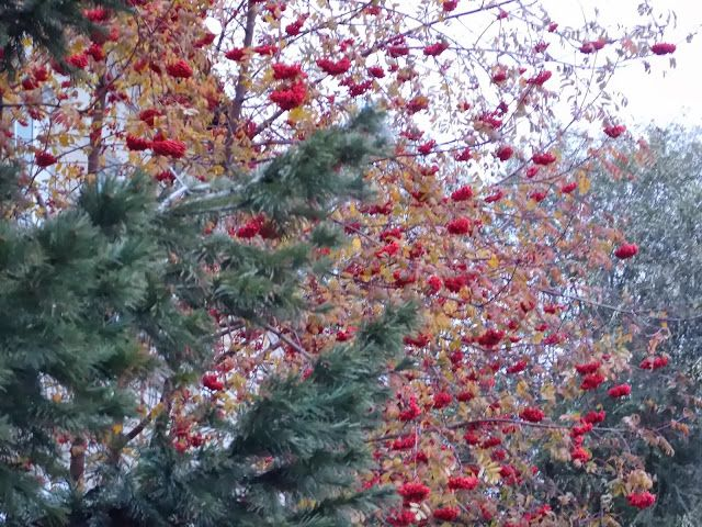 Кругом: Осенняя рябина