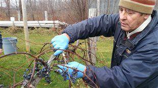 Le Vignoble Riparia cultive le seul raisin qui pousse à l'état sauvage au Québec : le vitis riparia! @centreduquebec