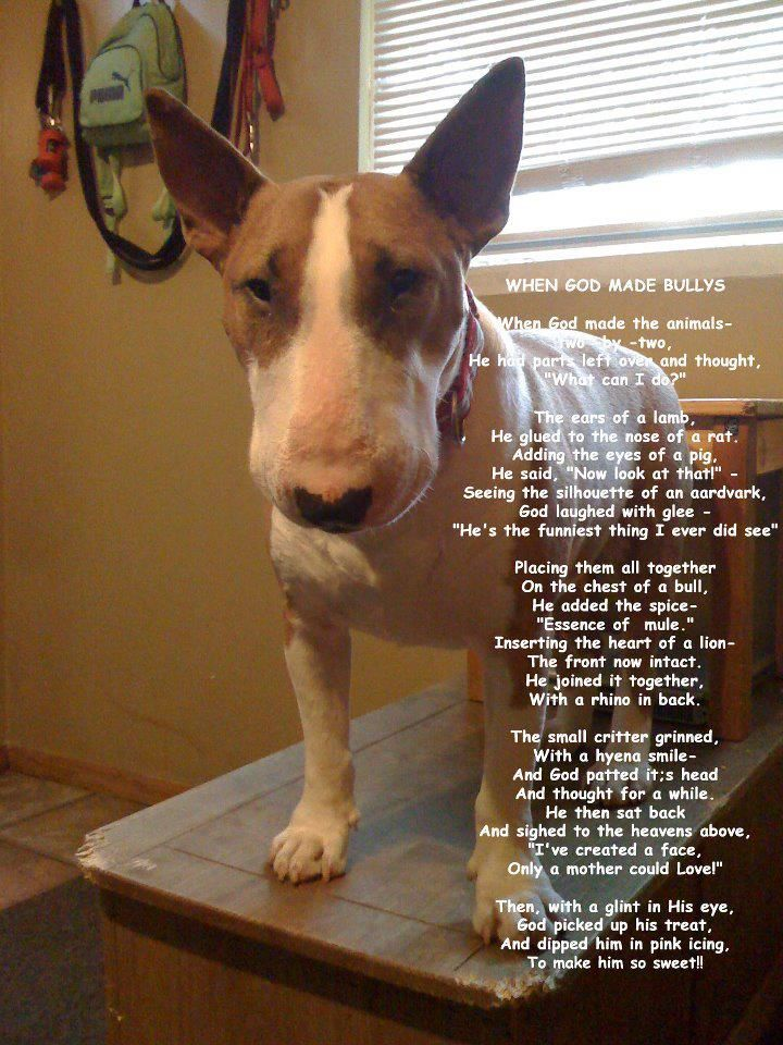 Why God Made #Bull #Terriers