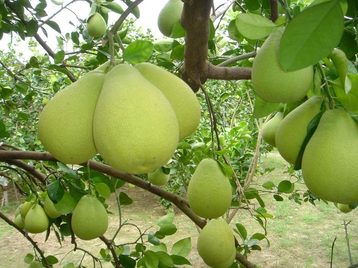 柚子 Citrus maxima