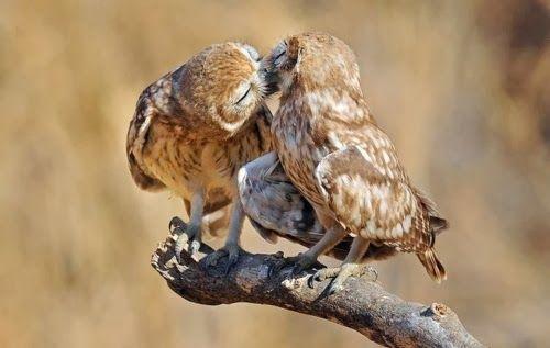 fotos animais adoráveis fofos se beijando beijo romântico Corujas
