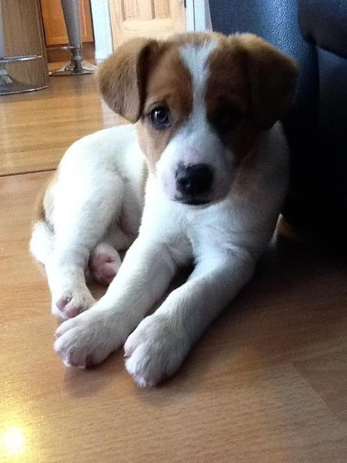 I'm in love with this one....jack russell puppy