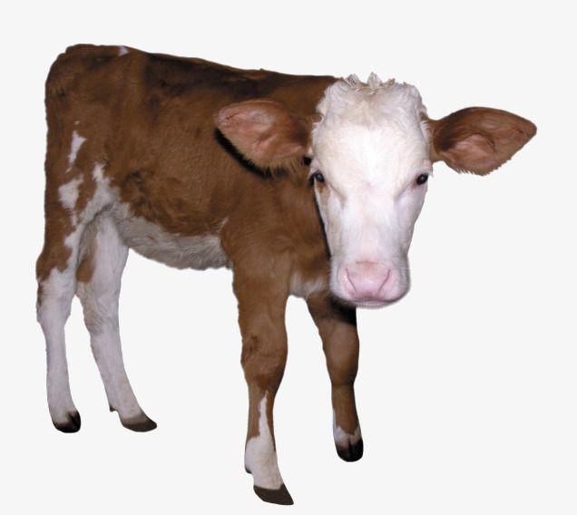 Calf Dairy Cow Milk Calves Dairy Cow Brown Clipart Calf Clipart Calves Clipart Brown Clipart Calf Clipart Calves Clipart Cow Cow Calf Cute Animals