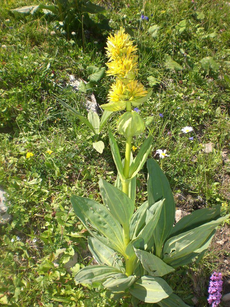 Gelber Enzian (Gentiana lutea). #Kleinwalsertal #Derra-Tal #geschützt. Die Hauptwirkung des gelben Enzians beruht auf den Bitterstoffen, die die Wurzeln enthalten.