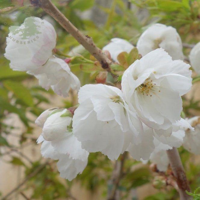 Prunus Shirotae Tree Flowering Cherry Tree Prunus Blossom Trees