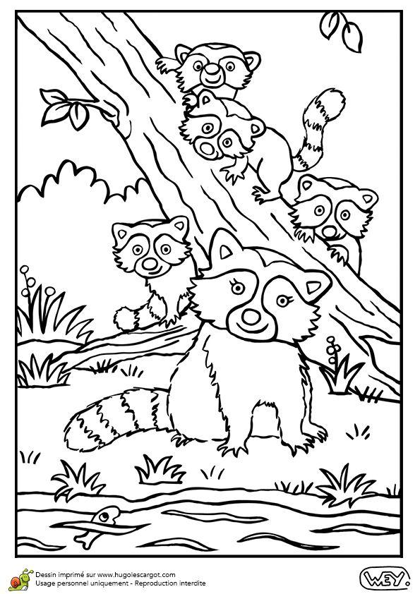 Dessin à colorier d'une maman raton laveur et de ses petits - Hugolescargot.com
