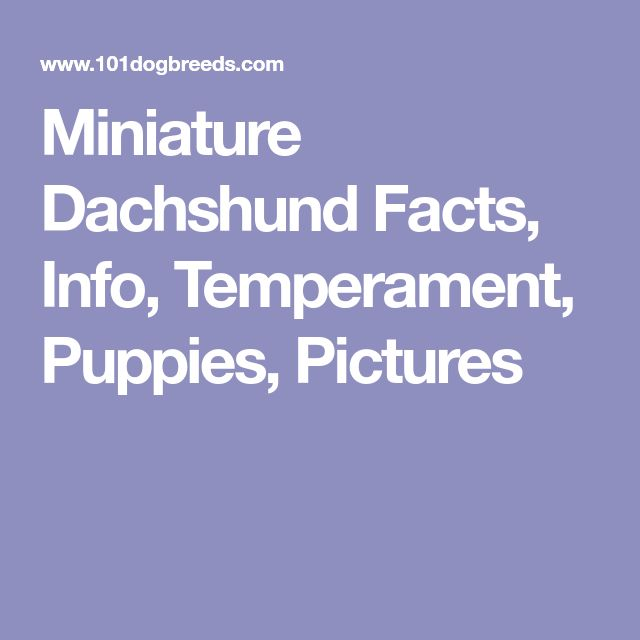 Miniature Dachshund Facts, Info, Temperament, Puppies, Pictures