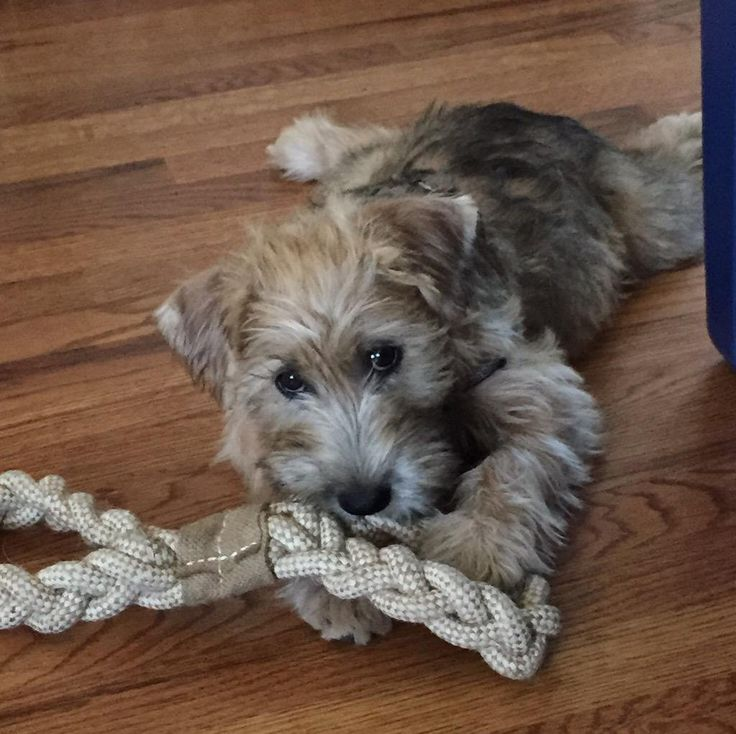 mini wheaten terrier 1000 images about cute on pinterest 6217