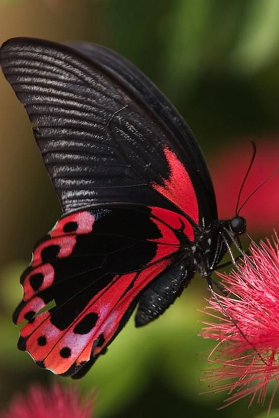 Red Black Butterfly On A Flower