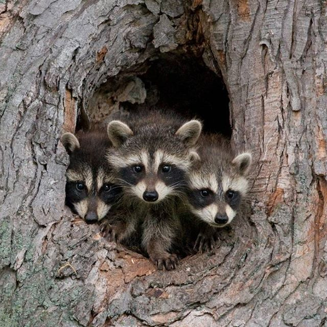 (Photo via Gerald A. DeBoer) While a full-grown raccoon may prove to be a trash-raiding pest, you can`t deny that they make for cute babies. These young bandits are born without teeth, and only weigh about 75 grams. They spend the first few weeks of life in the nest, which might be a tree hollow or underneath your porch. They begin foraging alongside their mother at about 2-months-old.
