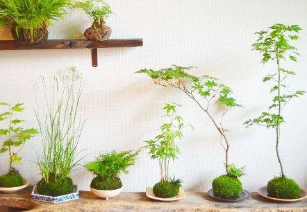 モミジなど季節の苔玉(6月Kitowa)