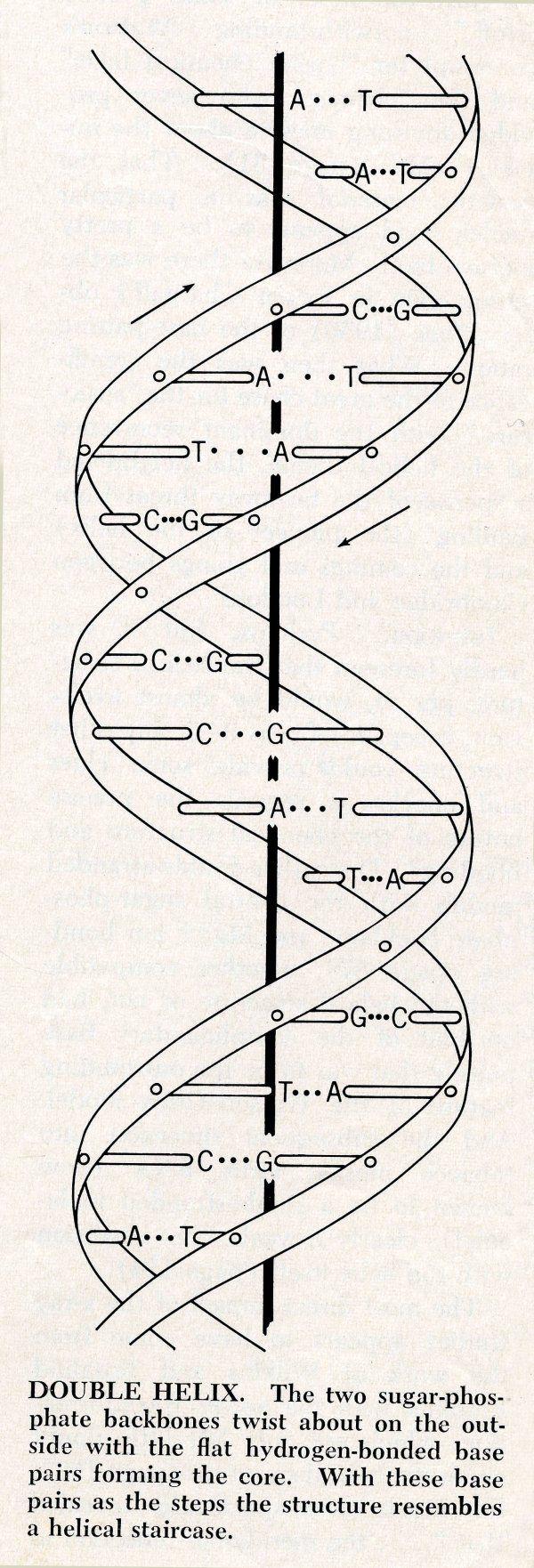blank dna diagram matching base pairs
