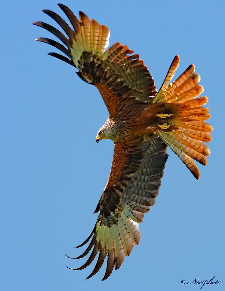 """Red Kite."" Photo by Neciphoto."