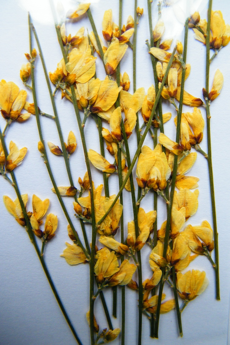 Daisy Gifts Ltd pressed dried yellow broom flowers http ...