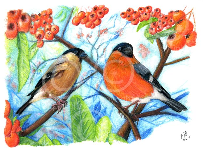 Bullfinch, male and female pair, watercolour pencil drawing - A pair of bullfinches perch amongst red firethorn berries. Hand-drawn as part of my British Garden Birds collection, I created this artwork using watercolour pencils. This drawing was created on watercolour paper using Derwent watercolour pencils.
