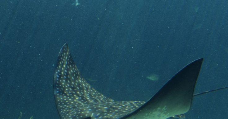 Tipos de rayas. Las rayas son peces cartilaginosos; en otras palabras, son peces con esqueletos de cartílago. Una característica común de todas las rayas es una cola de espinas venenosas. Las rayas golpean a los depredadores y a los seres humanos con la cola si se sienten amenazados. La mayoría habitan en suelos tropicales del océano, donde encuentran alimento y ...