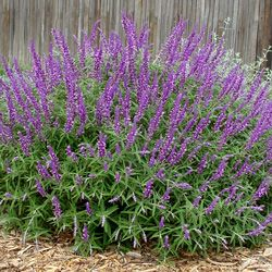 Salvia leucantha 'Santa Barbara' is a compact, drought-resistant Mexican Sage with deep purple flowers. Buy it at FBTS online plant nursery.