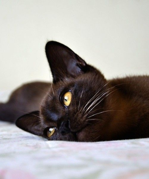 """BURMESE ~ The Burmese is a people pussycat. These kitties thrive on attention and quickly gets it with their charming demeanor. Burmese cats love to """"talk"""" about their day while parked in your lap. They are happy to accept attention from any person or pet willing to dish it out."""