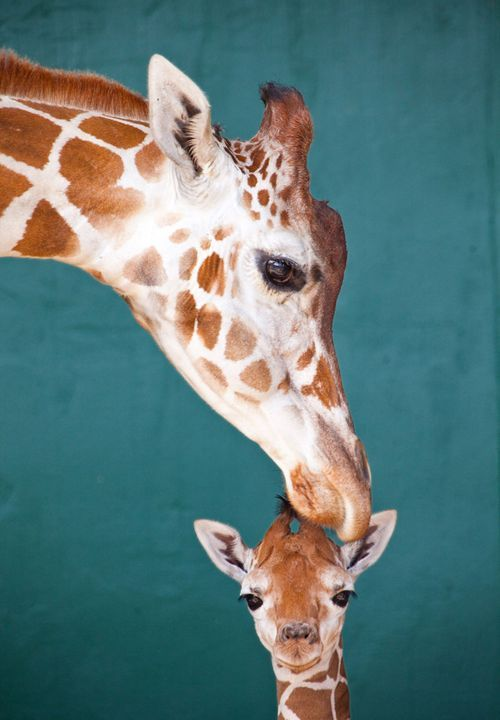 giraffes: Giraffes Baby, Mothers Love, Busch Gardens, Baby Giraffes, Pet, Adorable, Smile, New Baby, Animal