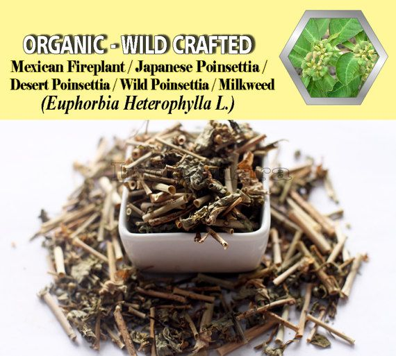 Skin problems, fungal diseases, abscesses, skin tumours, gonorrhoea, increase milk production in breast-feeding women, remove warts and corns, stomach-ache, constipation, intestinal worms, body pains, etc #EuphorbiaHeterophylla #driedherbs #herbalremedies #tea