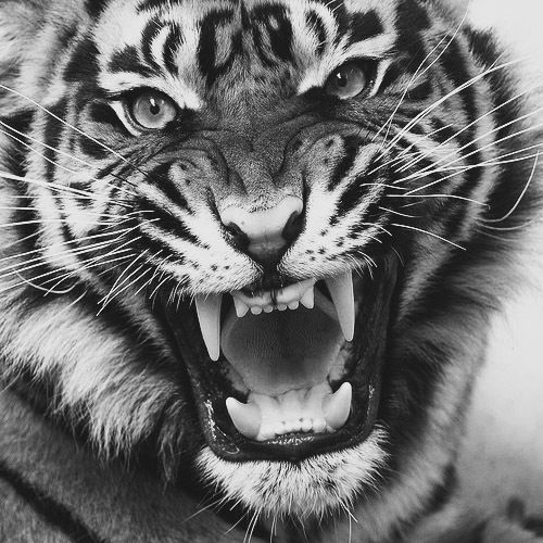 tiger growl 2